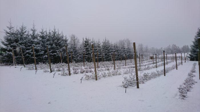 Zima na borůvkové farmě 2017